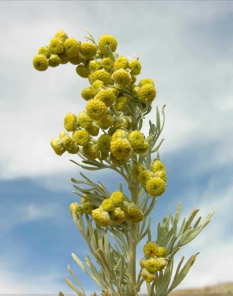 Artemisia-