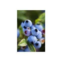 mirtilos-blueberry